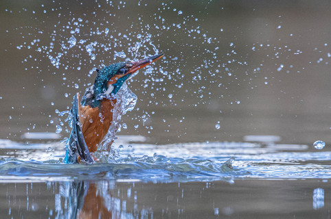 Kingfisher Emerging from dive 4