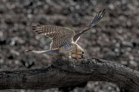 Kestrel with catch 2