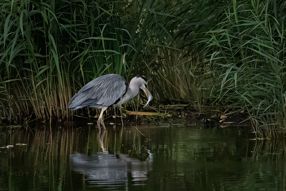 Grey Heron with catch 1