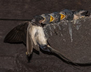 A Hungry Brood of swallows