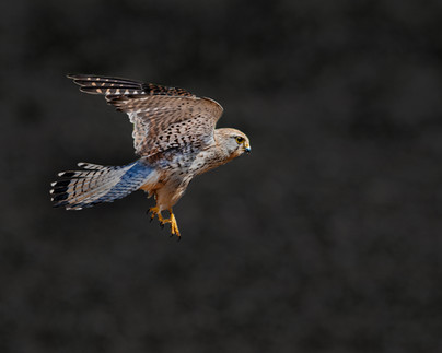 Kestrel in flight 2