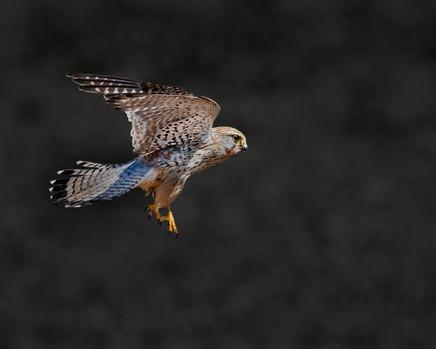 Kestrel in flight 2