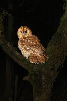 Tawny in Oak Tree - 2