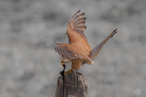 Kestrel with catch 1