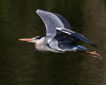 Grey heron in flight 2