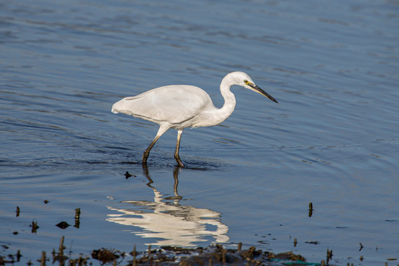 Little Egret - late autumn without crest