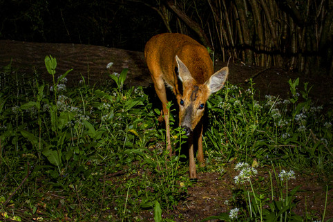 Roe deer - doe