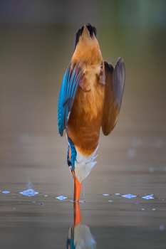 Kingfisher Diving 1