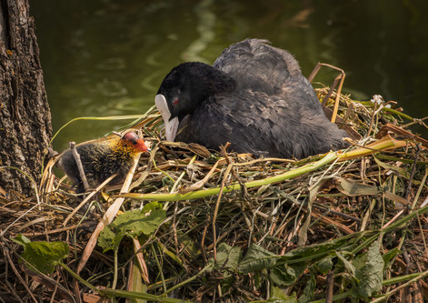 Coot with nestling
