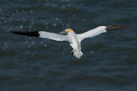 Gannet in flight 3