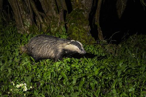 Badger foraging 2