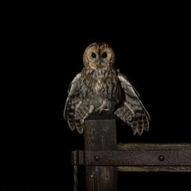 Tawny owl landing on gate-1