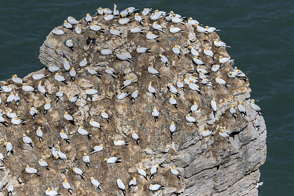 Gannet Nesting Colony