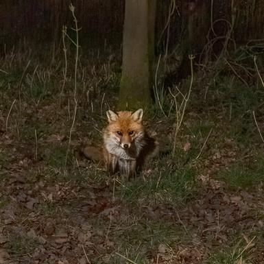 Fox Waiting