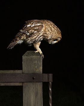 Tawny owl searching for a meal.jpg
