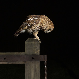 Tawny owl searching for a meal