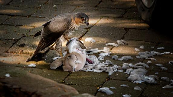 Sparrow Hawk with prey 3