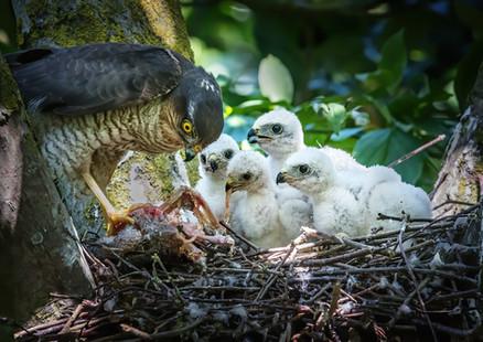 Sparrow Hawk at nest 2