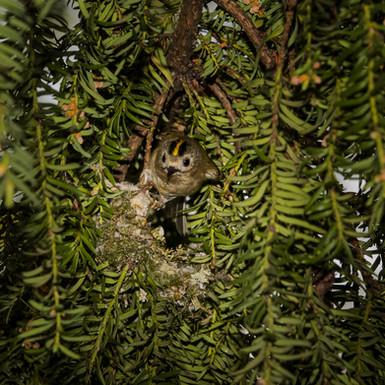 Goldcrest building nest