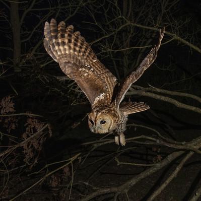 Tawny in flight - 1