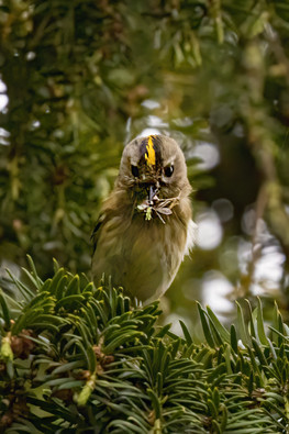 Goldcrest with food for young