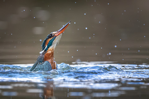 Kingfisher Emerging from dive 3