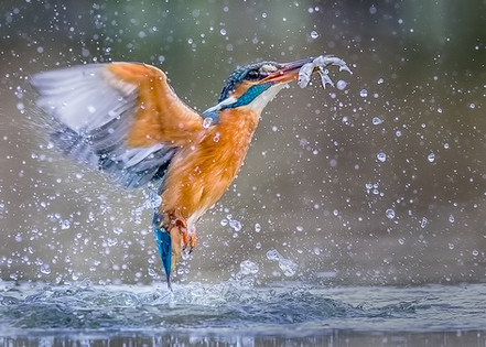 Kingfisher Emerging from dive 7