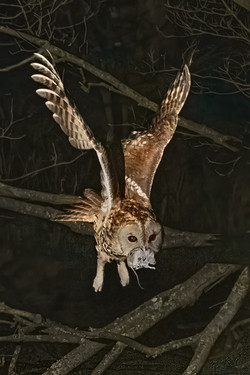 Tawny in flight - 2