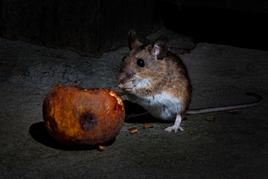 Field mouse eating apple 1