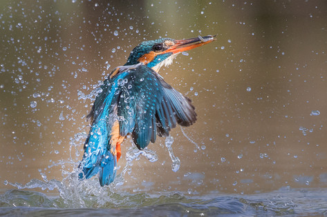 Kingfisher Emerging from dive 6