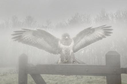 Buzzard in the mist