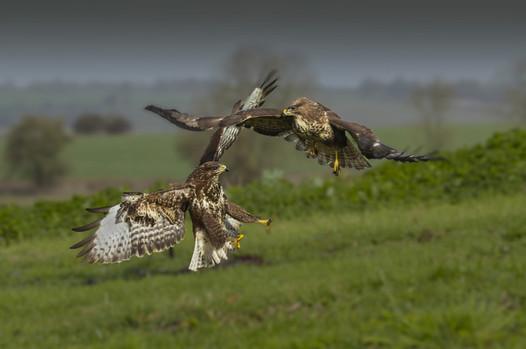 Buzzards squabbling 2