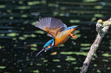 Kingfisher in flight 2