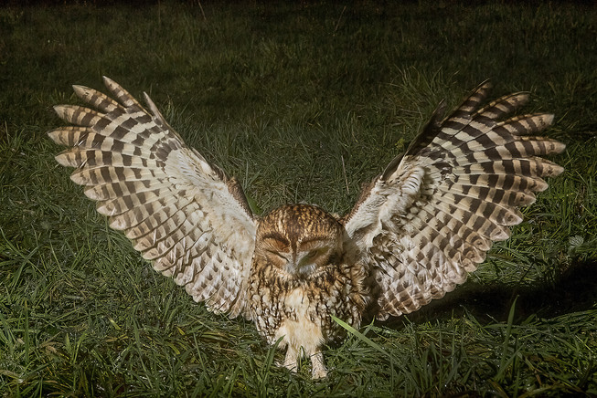 Tawny Owl landing