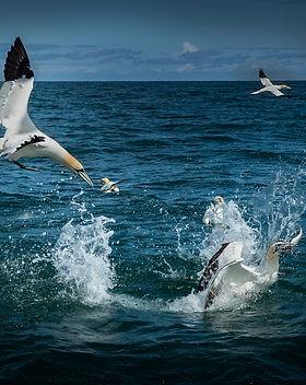 Gannets feeding_S3I6654C&P.jpg