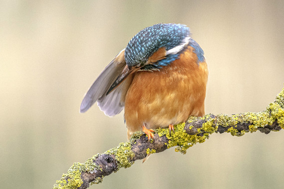 Kingfisher Preening 4