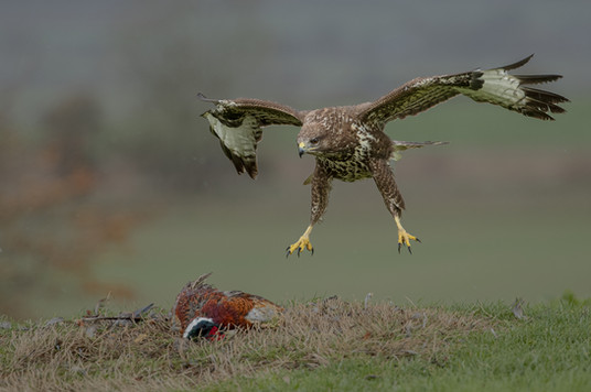 Buzzard dropping in for a meal