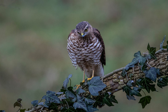 Young female Sparrow Hawk