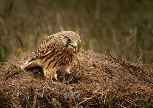 Kestrel on straw bale
