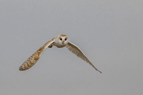 Barn owl in flight 2