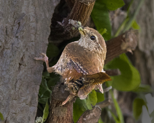 Wren with food for brood 2