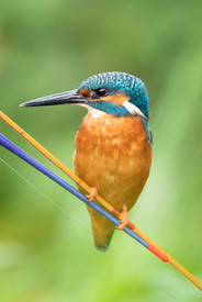 Kingfisher perched on fishing rod