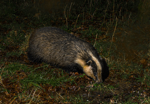 Grubby Badger searching for peanuts