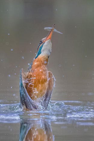 Kingfisher emerging from dive with catch