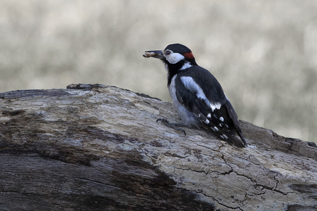 Great Spotted Woodpecker with grub