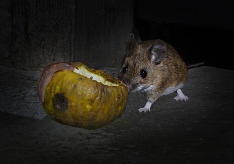 Field mouse eating apple 2