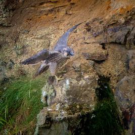 Juvenile Peregrine practicing flight