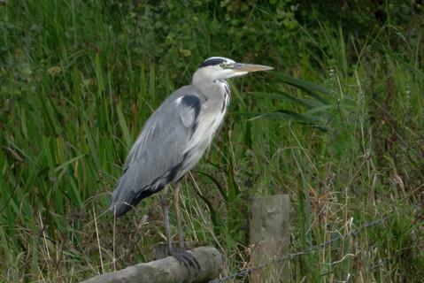 Grey Heron on fence rail