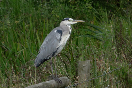 Grey Heron on fence rail