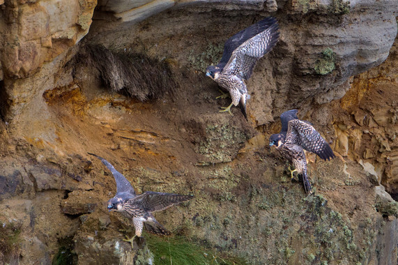 Juvenile Peregrines flexing their wings